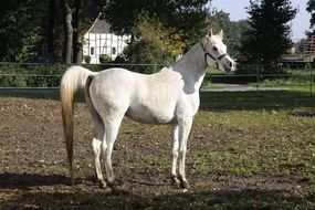 White mare on the farm