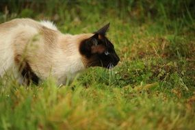 hunting siamese cat outdoor