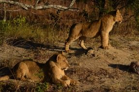 young wild lions in the nature of africa