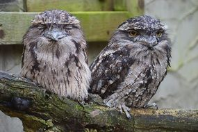 tawny frogmouth owls in a cage in Australia
