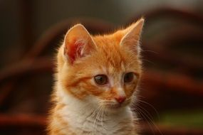 portrait of a young red kitten