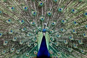 peacock with a gorgeous tail