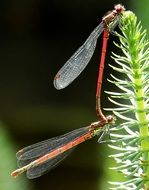 mating couple of red dragonflies
