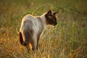 walking siamese cat in evening