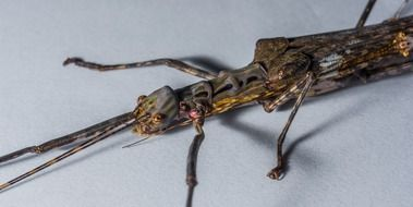 scary stick insect