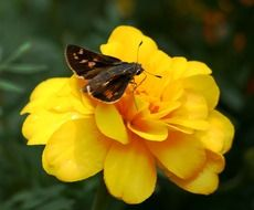 small brown butterfly on a yellow flower