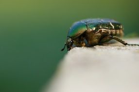 Macro photo of Rose Beetle