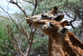 two Giraffes feeding at tree