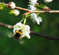 bumblebee on a flowering cherry branch