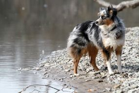 Australian Shepherd Dog near water portrait