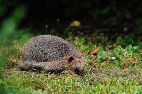 hedgehog in a forest
