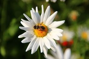 bee on a white daisy close up
