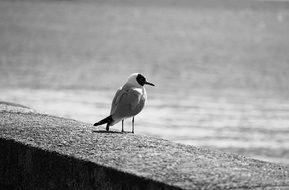 Tern Seagull monochrome photo
