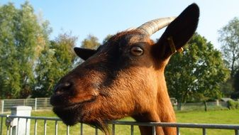 brown horned Goat head above fence