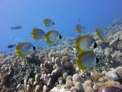 flock of tropic butterflyfish