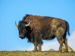 wild buffalo on the hill