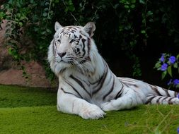 relaxing white bengal tiger