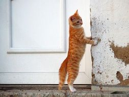 red kitten standing on hind legs