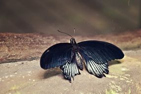 amazing black and white butterfly