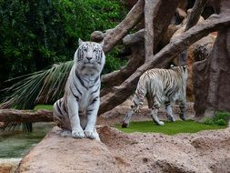 wondrous White Tiger