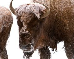 brown bison in winter