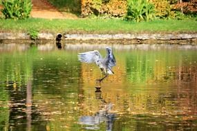 heron in flight above the mirror pond