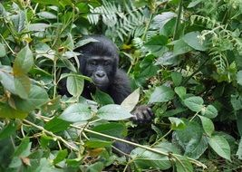 gorilla child sits among the green branches of a tree