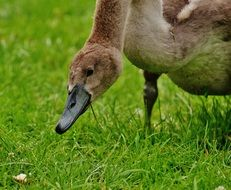 grazing young swan
