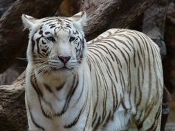 white bengal tiger is a noble animal