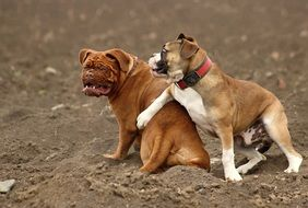 two playful thoroughbred dogs
