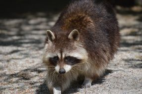 furry raccoon at the zoo