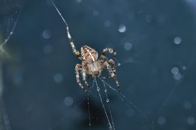 shaggy spider weaves a web