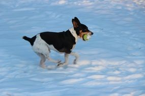 dog is playing with a ball in the snow