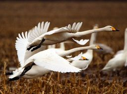 taking off whooper swans