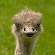 portrait of an african ostrich