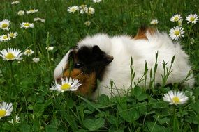 guinea pig on a green meadow with daisies