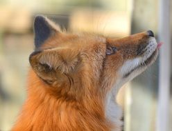 portrait of a red fox in profile