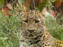 Portrait of Chinese Leopard