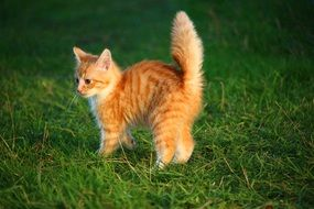 red baby cat with fluffy tail