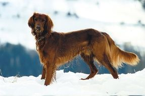 red setter on the snow field
