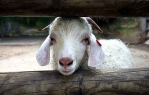 goat behind a wooden fence close-up
