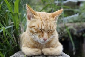 cute sleepy red cat