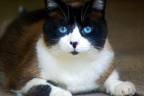 chubby siamese cat with blue eyes