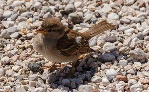 foraging sparrow
