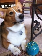 Corgi is a purebred dog