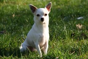White Chihuahua sitting on a grass