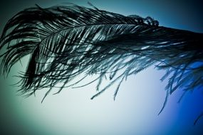 ostrich feather on blue background