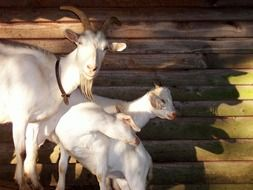 Goats Billy Goat Animals
