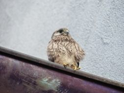 young fluffy falcon