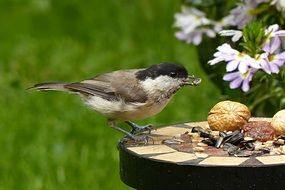 coal tit eating seeds